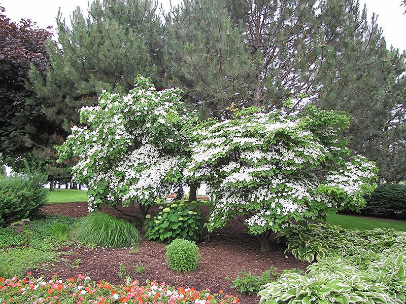 Chinese Dogwood (Cornus kousa 'var. chinensis') at Wolf Hill Home & Garden