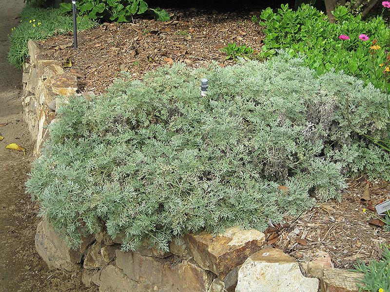 Powis Castle Artemesia (Artemisia 'Powis Castle') at Wolf Hill Home & Garden