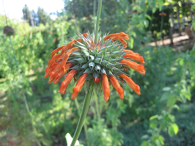 Lion's Ear (Leonotis nepetifolia) at Wolf Hill Home & Garden