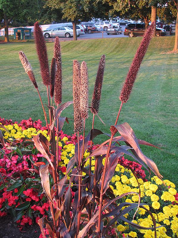 Purple Majesty Millet (Pennisetum glaucum 'Purple Majesty') at Wolf Hill Home & Garden