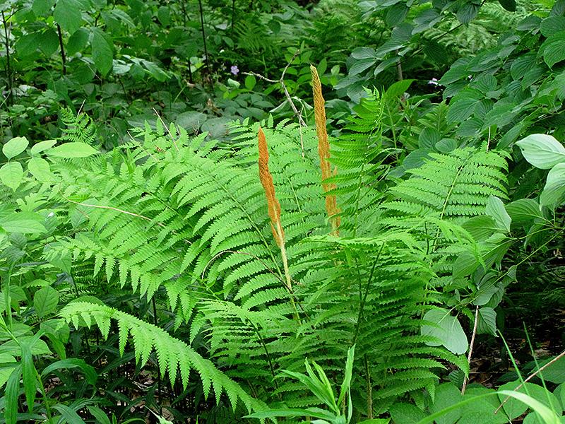 Cinnamon Fern (Osmunda cinnamomea) at Wolf Hill Home & Garden