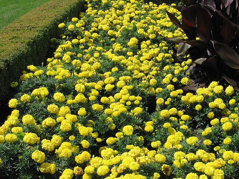 Inca Yellow Marigold (Tagetes erecta 'Inca Yellow') at Wolf Hill Home & Garden