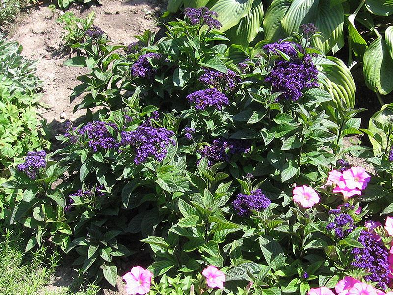 Fragrant Delight Heliotrope (Heliotropium arborescens 'Fragrant Delight') at Wolf Hill Home & Garden