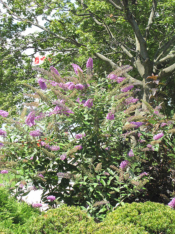 Pink Delight Butterfly Bush (Buddleia davidii 'Pink Delight') at Wolf Hill Home & Garden