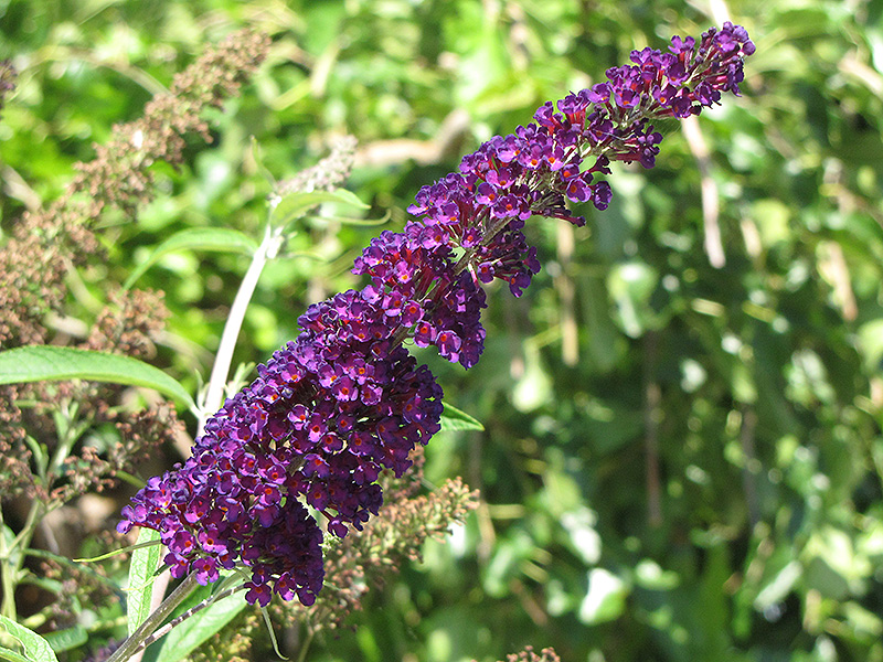 Black Knight Butterfly Bush (Buddleia davidii 'Black Knight') at Wolf Hill Home & Garden