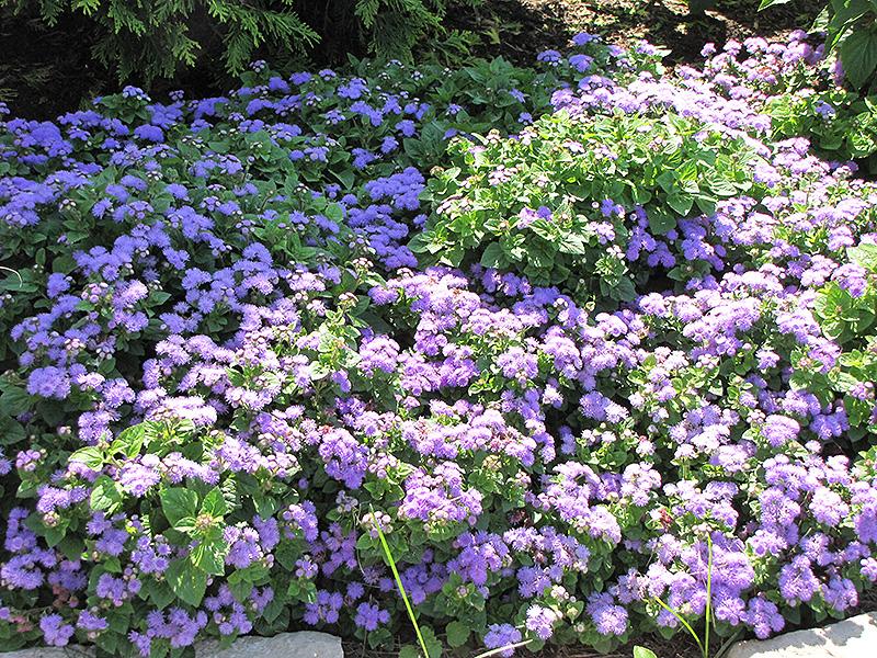 Blue Horizon Flossflower (Ageratum 'Blue Horizon') at Wolf Hill Home & Garden