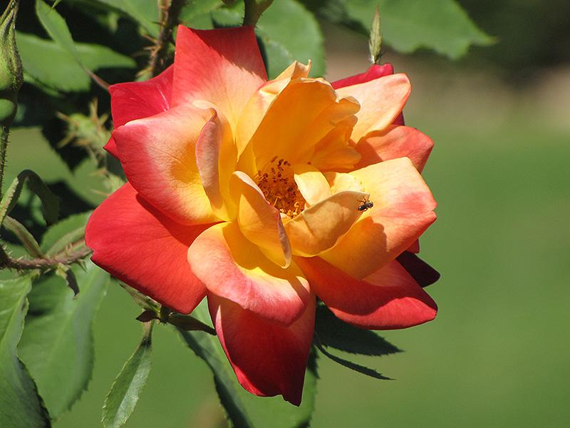 Joseph's Coat Rose (Rosa 'Joseph's Coat') at Wolf Hill Home & Garden
