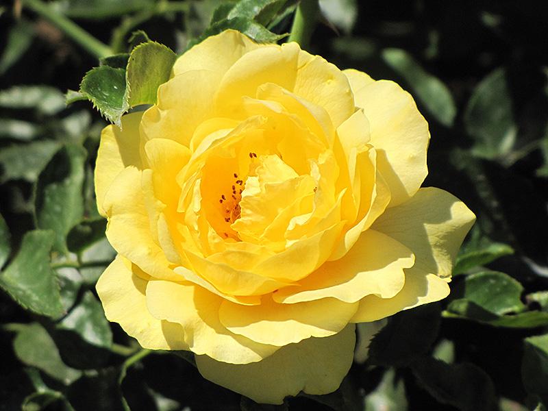Julia Child Rose (Rosa 'Julia Child') at Wolf Hill Home & Garden