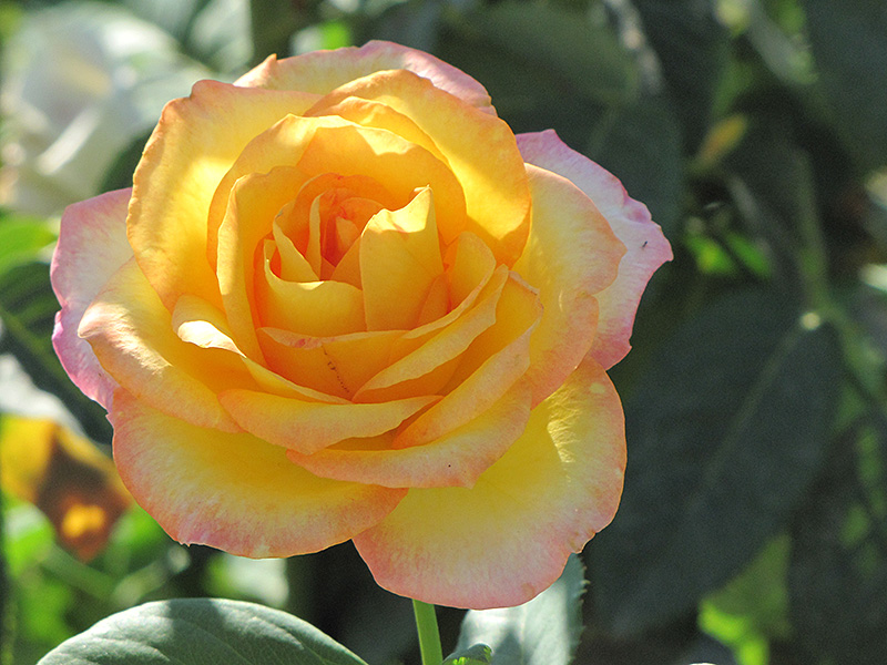 Gold Medal Rose (Rosa 'Gold Medal') at Wolf Hill Home & Garden