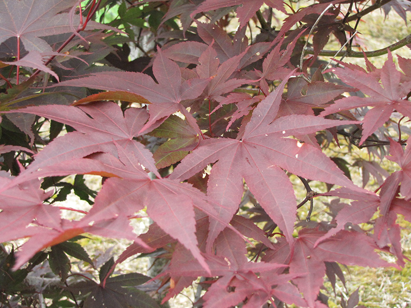 Red Emperor Japanese Maple (Acer palmatum 'Red Emperor') at Wolf Hill Home & Garden