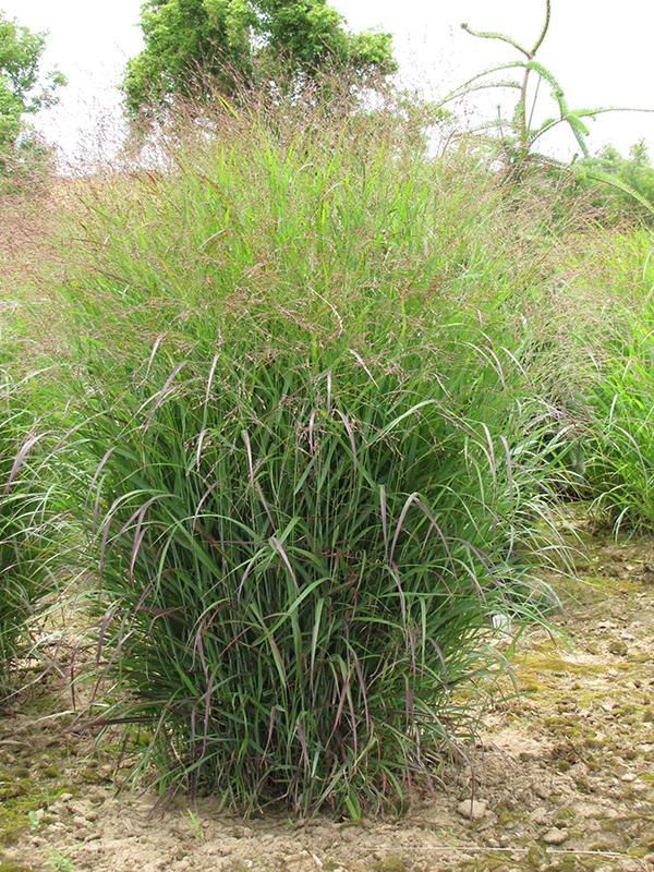 Prairie Sky Switch Grass (Panicum virgatum 'Prairie Sky') at Wolf Hill Home & Garden