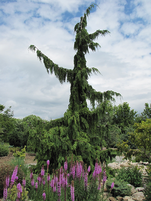 Green Arrow Nootka Cypress (Chamaecyparis nootkatensis 'Green Arrow') at Wolf Hill Home & Garden