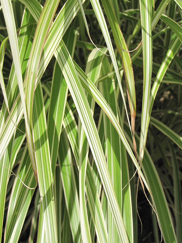 Morning Light Maiden Grass (Miscanthus sinensis 'Morning Light') at Wolf Hill Home & Garden