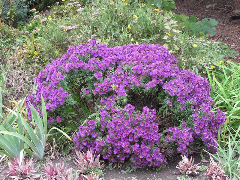 Believer Purple Aster (Aster novi-belgii 'Believer Purple') at Wolf Hill Home & Garden