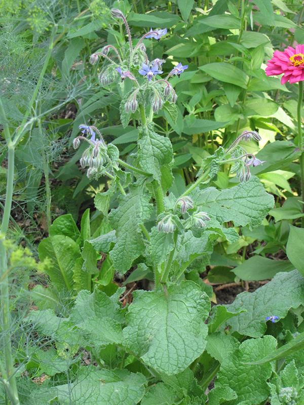 Borage (Borago officinalis) at Wolf Hill Home & Garden