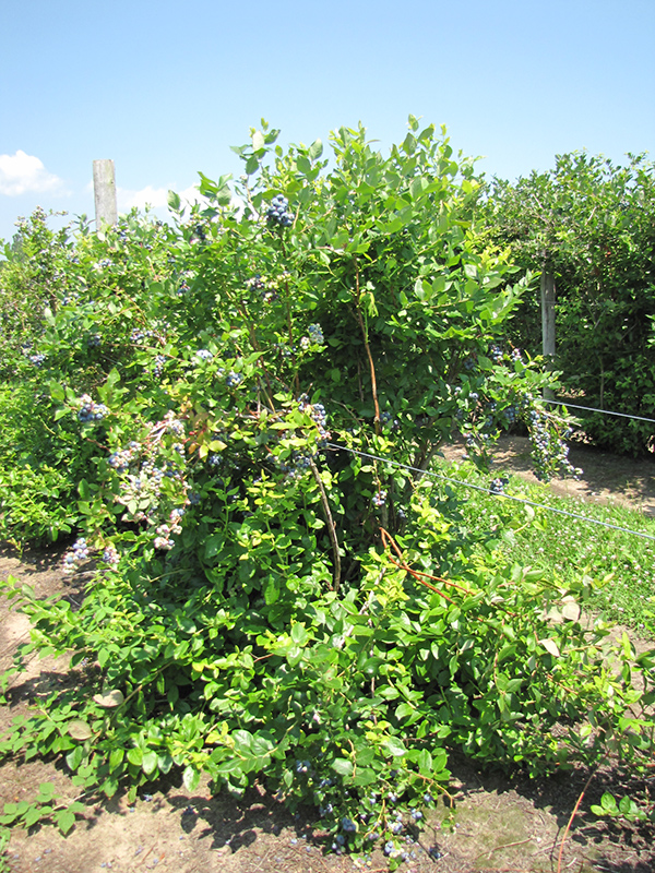 Duke Blueberry (Vaccinium corymbosum 'Duke') at Wolf Hill Home & Garden