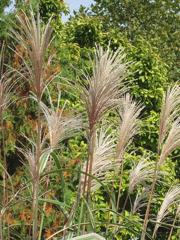 Variegated Silver Grass (Miscanthus sinensis 'Variegatus') at Wolf Hill Home & Garden