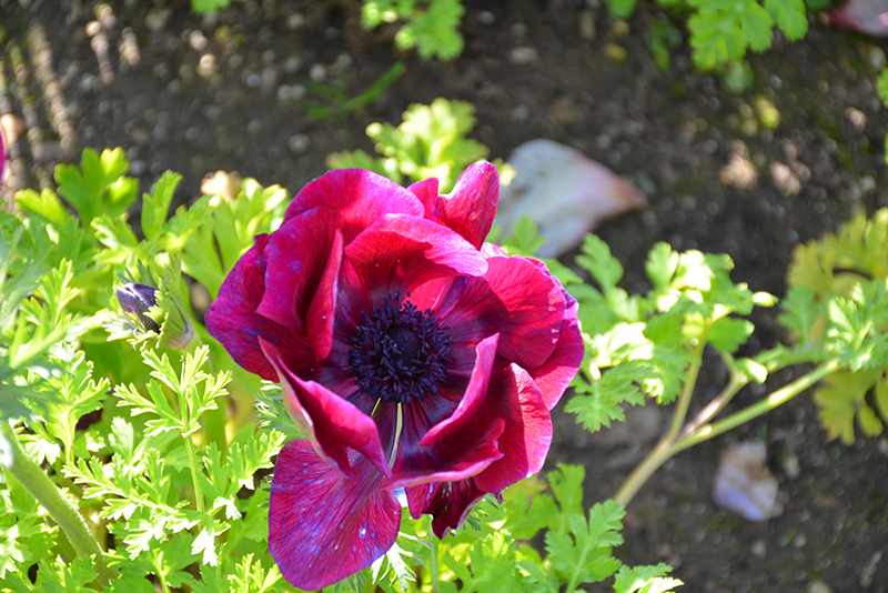 Mona Lisa Wine Shades Windflower (Anemone coronaria 'PAS1863') at Wolf Hill Home & Garden