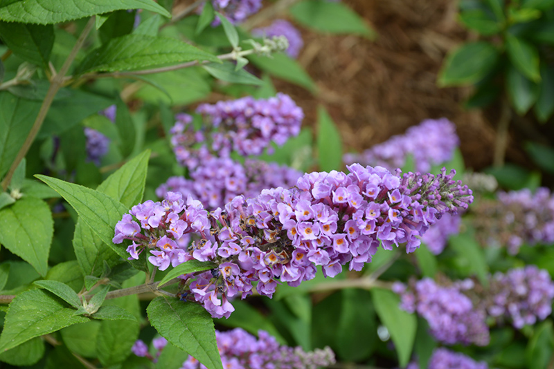 Lo And Behold Blue Chip Dwarf Butterfly Bush (Buddleia 'Lo And Behold Blue Chip') at Wolf Hill Home & Garden
