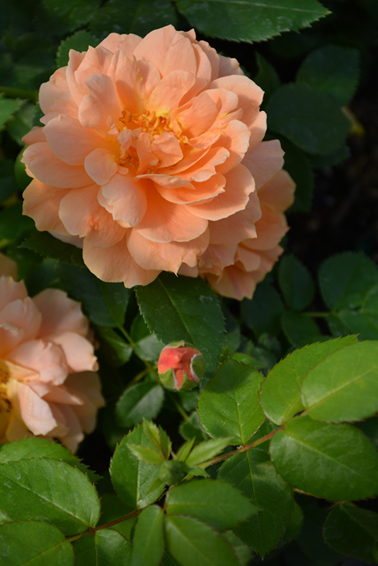 At Last Rose (Rosa 'HORCOGJIL') at Wolf Hill Home & Garden