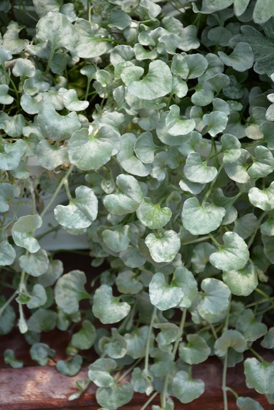 Silver Falls Dichondra (Dichondra argentea 'Silver Falls') at Wolf Hill Home & Garden