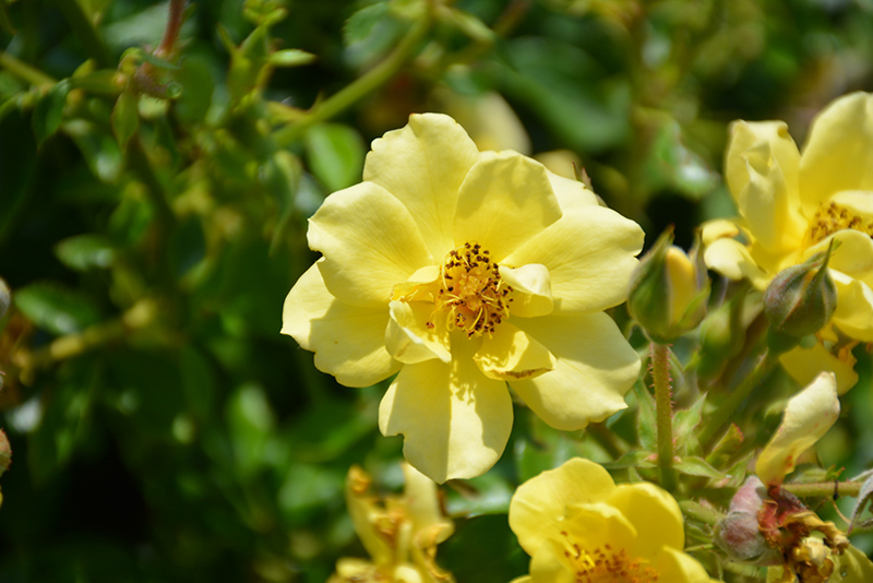 Oso Easy Lemon Zest Rose (Rosa 'Chewhocan') at Wolf Hill Home & Garden