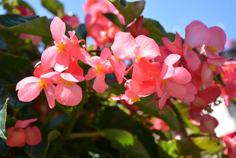 Dragon Wing Pink Begonia (Begonia 'Dragon Wing Pink') at Wolf Hill Home & Garden