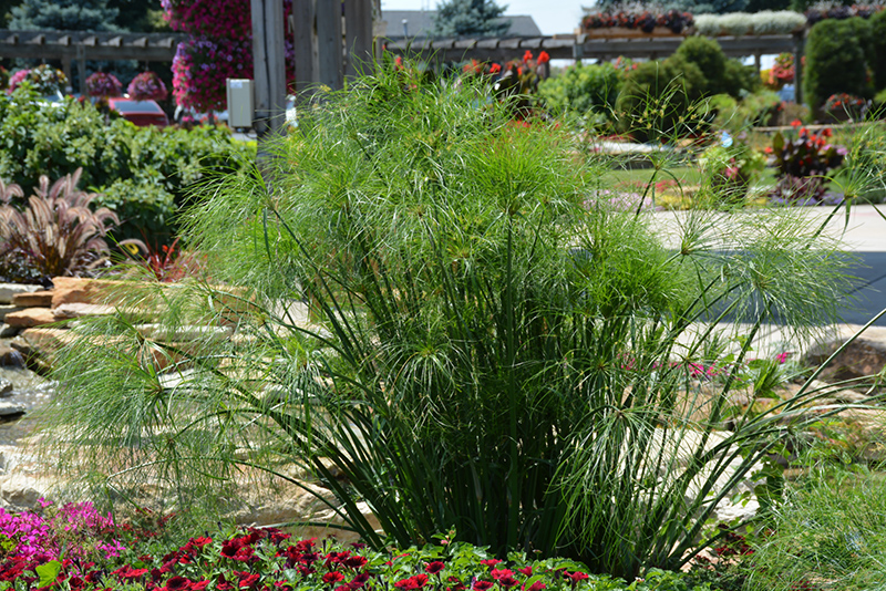 King Tut Egyptian Papyrus (Cyperus papyrus 'King Tut') at Wolf Hill Home & Garden