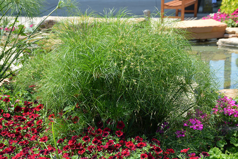 Prince Tut Egyptian Papyrus (Cyperus 'Prince Tut') at Wolf Hill Home & Garden