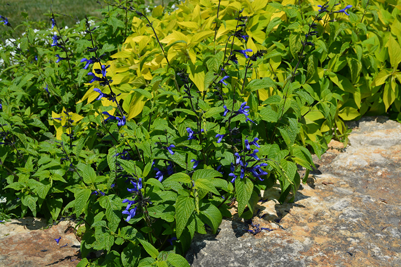 Black And Blue Anise Sage (Salvia guaranitica 'Black And Blue') at Wolf Hill Home & Garden