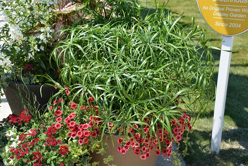 Baby Tut Umbrella Grass (Cyperus involucratus 'Baby Tut') at Wolf Hill Home & Garden