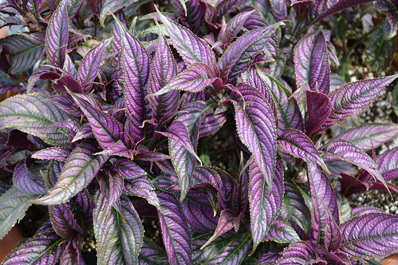 Persian Shield (Strobilanthes dyerianus) at Wolf Hill Home & Garden