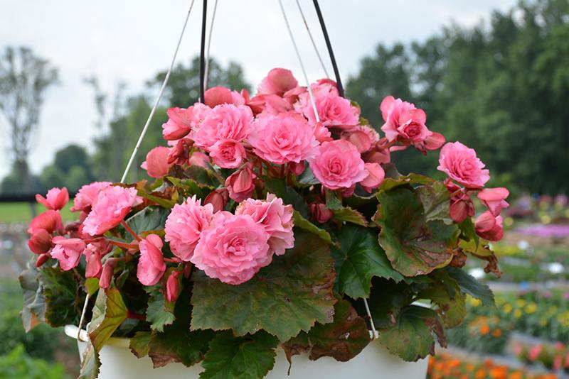 Frivola Pink Begonia (Begonia x hiemalis 'Frivola Pink') at Wolf Hill Home & Garden