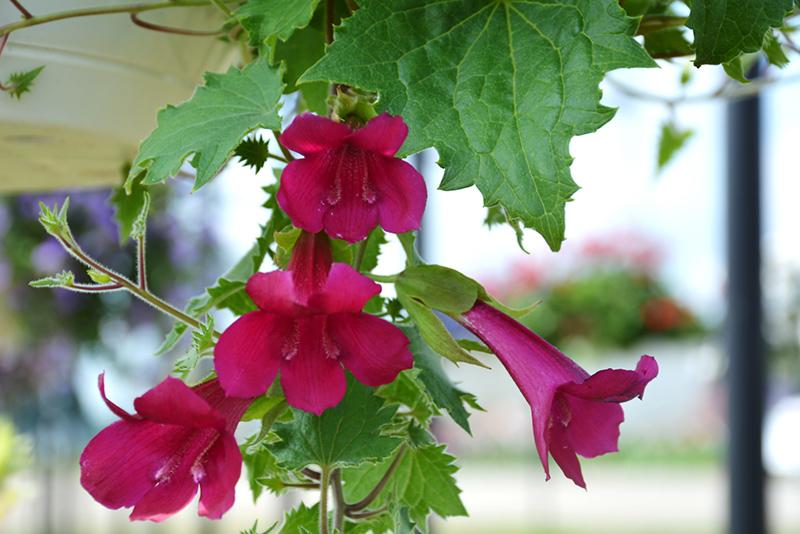 Lofos Wine Red Creeping Gloxinia (Lophospermum 'Sun-asaro') at Wolf Hill Home & Garden