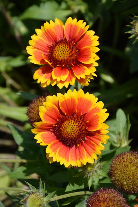 Arizona Sun Blanket Flower (Gaillardia x grandiflora 'Arizona Sun') at Wolf Hill Home & Garden