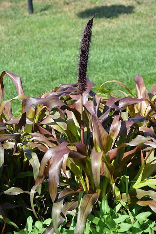 Jester Millet (Pennisetum glaucum 'Jester') at Wolf Hill Home & Garden