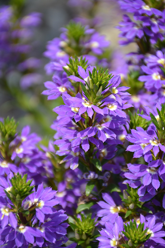 Purple Haze Fan Flower (Scaevola aemula 'Purple Haze') at Wolf Hill Home & Garden