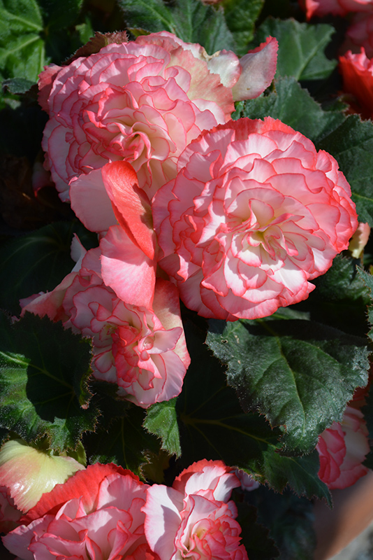 Nonstop Rose Petticoat Begonia (Begonia 'Nonstop Rose Petticoat') at Wolf Hill Home & Garden