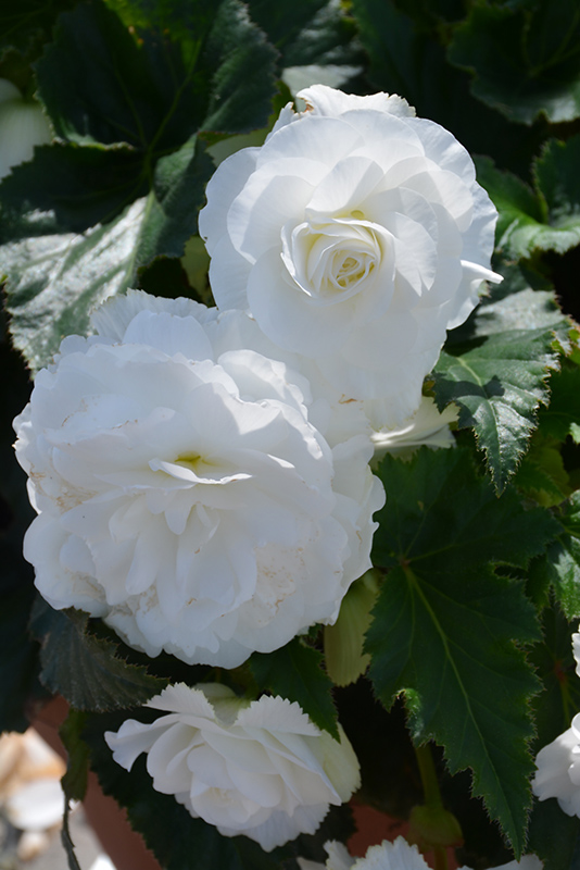 Nonstop White Begonia (Begonia 'Nonstop White') at Wolf Hill Home & Garden