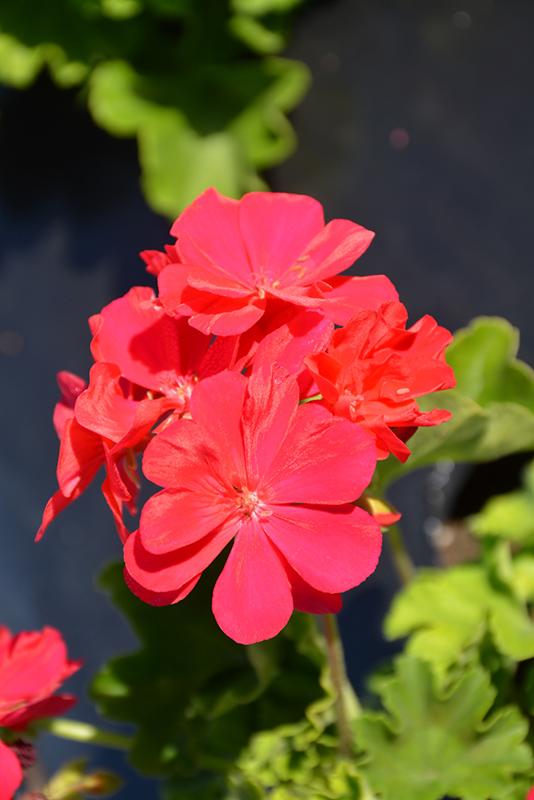 Calliope Medium Hot Pink Geranium (Pelargonium 'Calliope Medium Hot Pink') at Wolf Hill Home & Garden