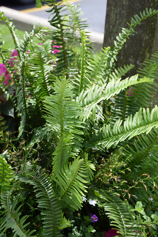 Kimberly Queen Australian Sword Fern (Nephrolepis obliterata 'Kimberly Queen') at Wolf Hill Home & Garden