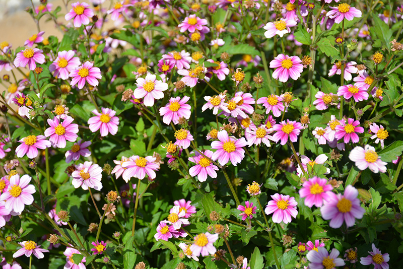Pretty in Pink Bidens (Bidens ferulifolia 'Pretty in Pink') at Wolf Hill Home & Garden
