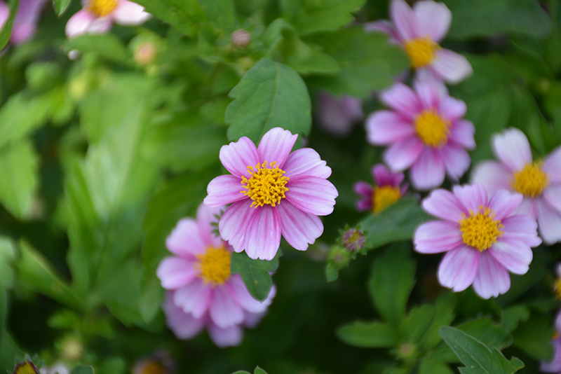 Pretty in Pink Bidens (Bidens ferulifolia 'Pretty in Pink') at Wolf Hill Home & Garden