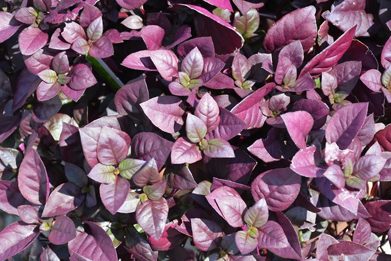 Purple Prince Alternanthera (Alternanthera brasiliana 'Purple Prince') at Wolf Hill Home & Garden