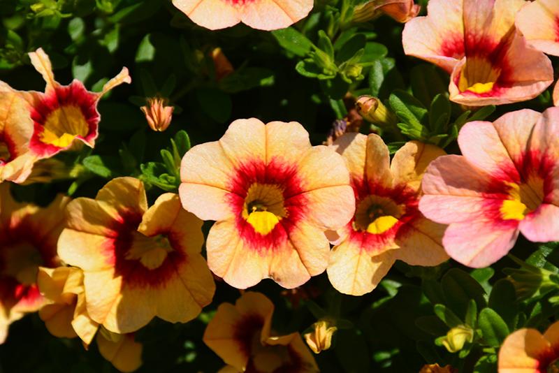 Hula Gold Calibrachoa (Calibrachoa 'Hula Gold') at Wolf Hill Home & Garden