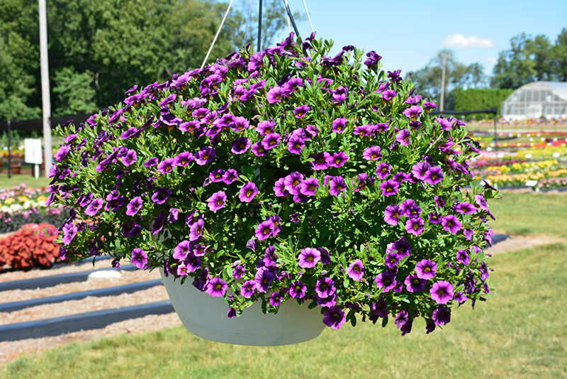 Colibri Purple Lace Calibrachoa (Calibrachoa 'Colibri Purple Lace') at Wolf Hill Home & Garden