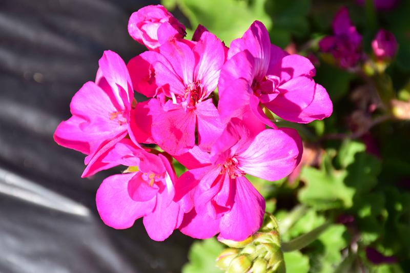 Calliope Medium Deep Rose Geranium (Pelargonium 'Calliope Medium Deep Rose') at Wolf Hill Home & Garden