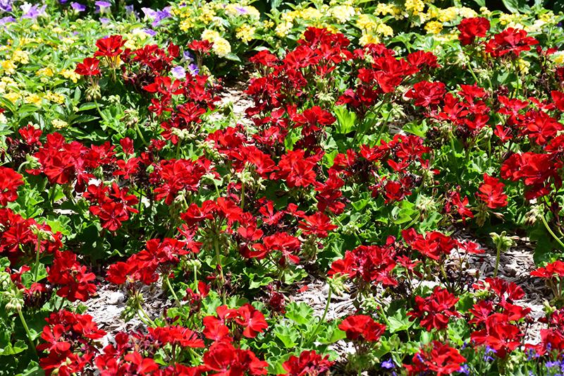 Calliope Medium Dark Red Geranium (Pelargonium 'Calliope Medium Dark Red') at Wolf Hill Home & Garden