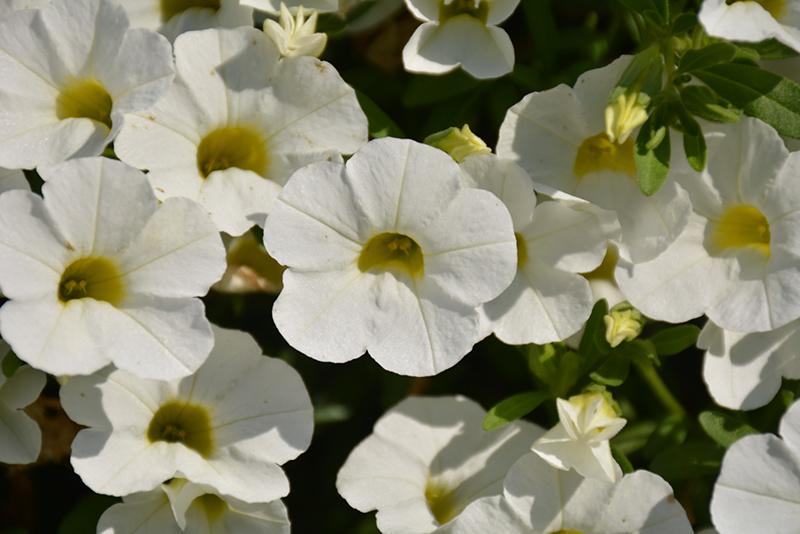Calitastic White Calibrachoa (Calibrachoa 'Wecacaliwe') at Wolf Hill Home & Garden
