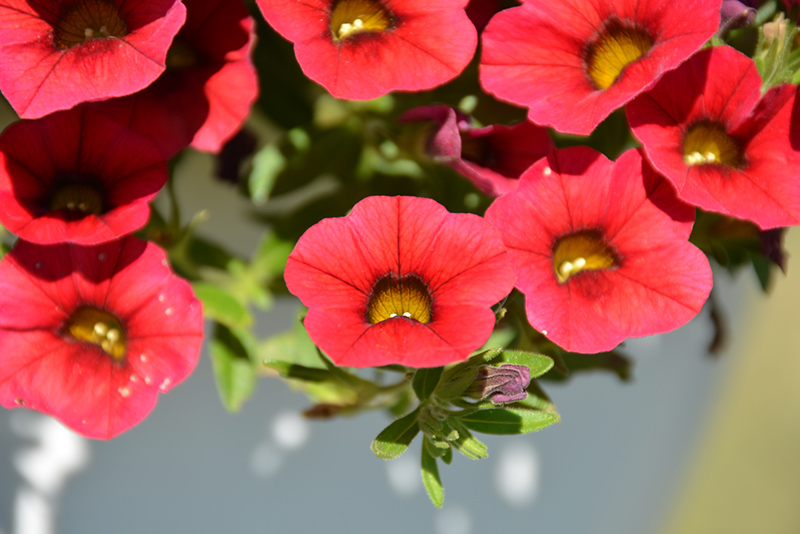 Calitastic Red Lips Calibrachoa (Calibrachoa 'Wescacalisreli') at Wolf Hill Home & Garden